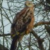 Red Kites Perched